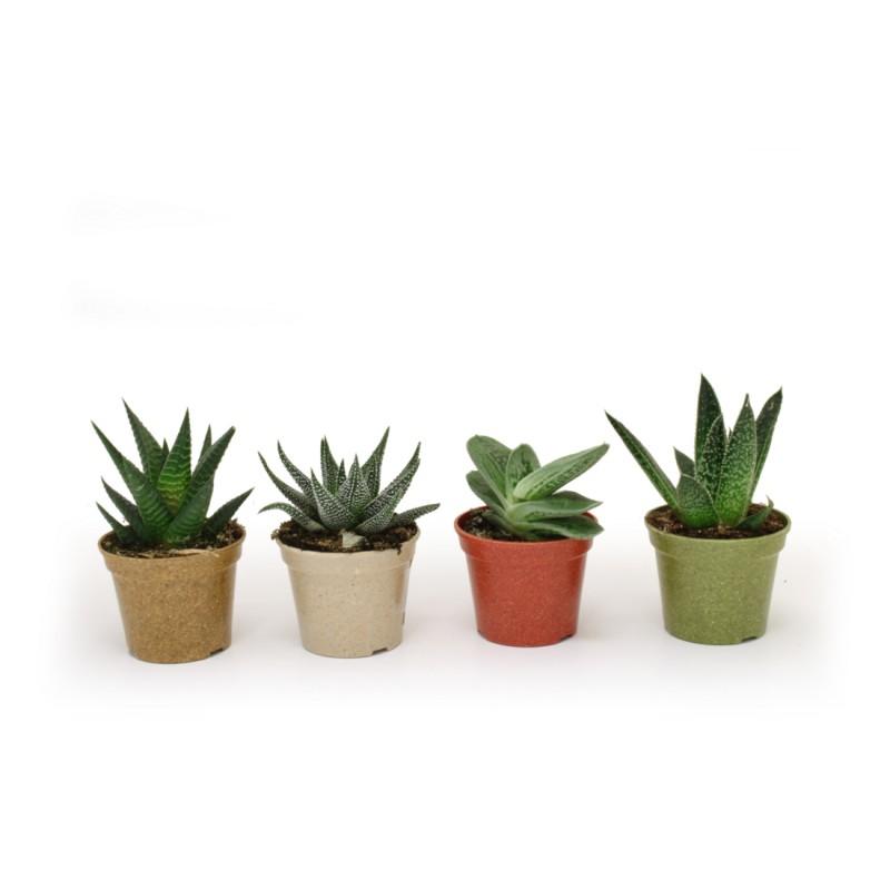 Plante décorative à prix de gros - Graine à planter à prix grossiste